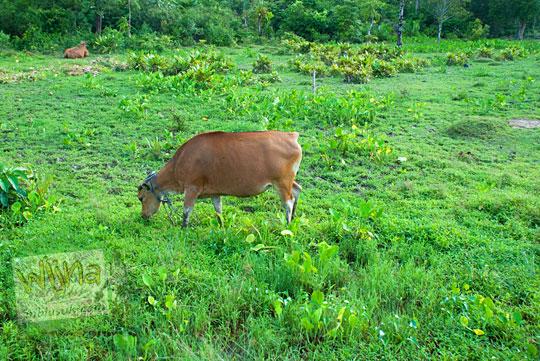 Sapi merumput di suatu lahan kosong yang banyak terdapat di Kota Daik, ibu kota Kabupaten Lingga, Kepulauan Riau pada Mei 2016