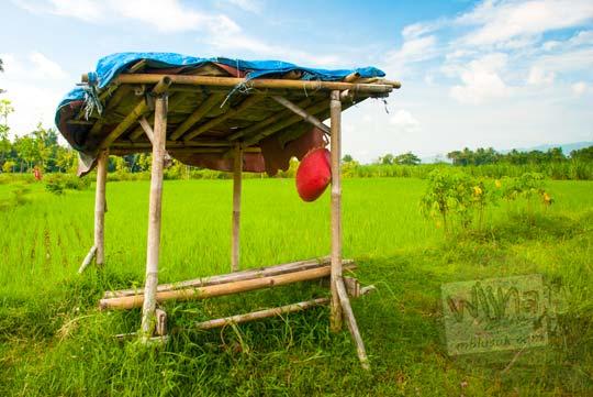 Berugak atau dangau petani di pinggir sawah dekat Selokan Van Der Wijck, Yogyakarta di tahun 2016