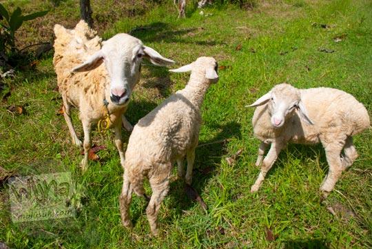 Jual ternak kambing murah di Minggir, Sleman, Yogyakarta di tahun 2016