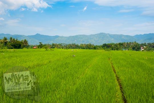 Pemandangan hamparan sawah hijau di sepanjang Selokan Van Der Wijck, Yogyakarta di tahun 2016