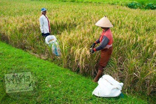 Petani memanen sawah di Minggir, Sleman, Yogyakarta di tahun 2016