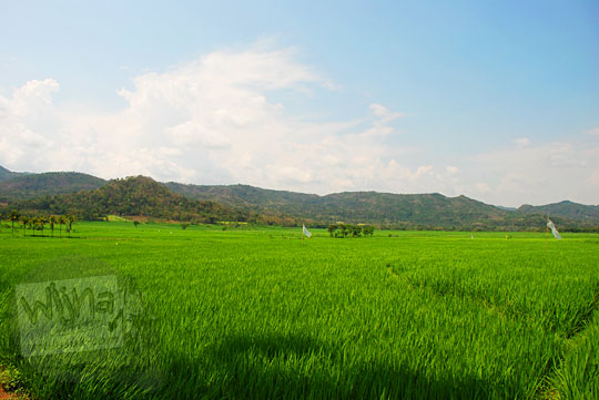Pemandangan perbukitan Menoreh dikelilingi hamparan sawah hijau di Girimulyo, Kulon Progo, Yogyakarta