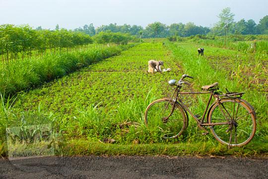 Warga profesi petani kacang tanah di Playen, Gunungkidul ke ladang naik sepeda onthel tua mengeluhkan harga jual grosir kacang tanah di tingkat petani pada April 2016