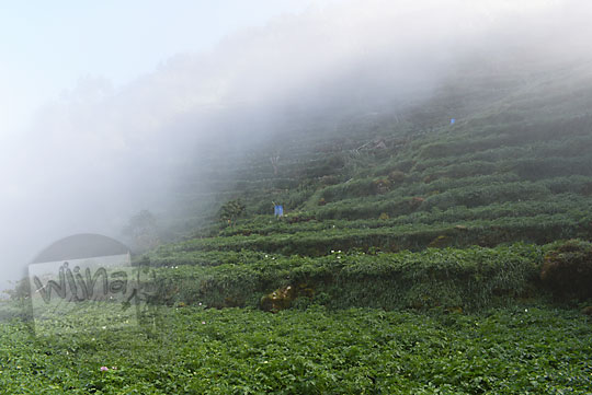 foto indah pemandangan ladang kentang yang tertutup kabut di Desa Sembungan Kejajar Wonosobo Jawa Tengah
