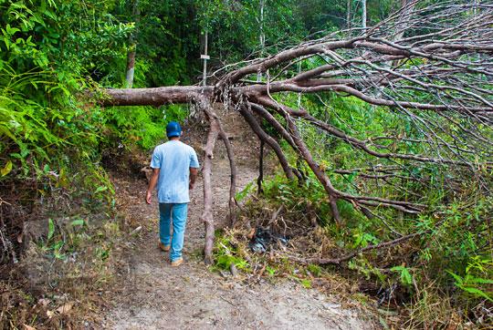 pohon tua besar tumbang merintangi jalan setapak di dalam hutan menuju Pantai Moyang di Pulau Lingga Kepulauan Riau