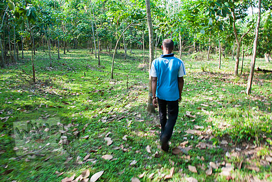 seorang bapak juru pelihara Kompleks Candi Muara Takus Riau sedang berjalan kaki di dalam kebun karet