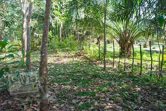 lokasi kebun karet dekat kompleks Candi Muara Takus Riau yang diduga masih menyimpan gundukan tanah berisi tumpukan batu bata kuno peninggalan kerajaan Sriwijaya