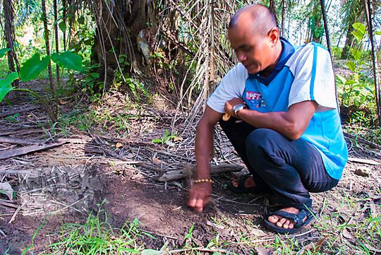 petugas balai pelestarian purbakala sedang menggali tanah di dekat pohon sawit yang diduga berisi batu bata kuno peninggalan Candi Muara Takus Riau