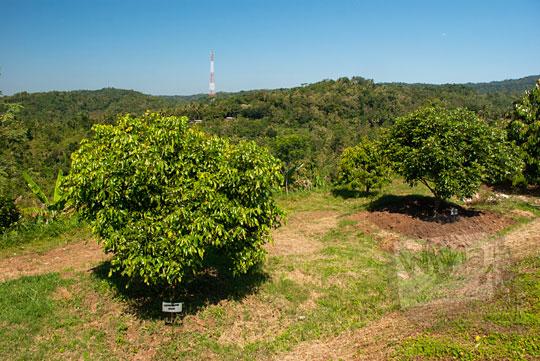 foto kebun kelengkeng waduk tonogoro banjaroya di kalibawang kulon progo