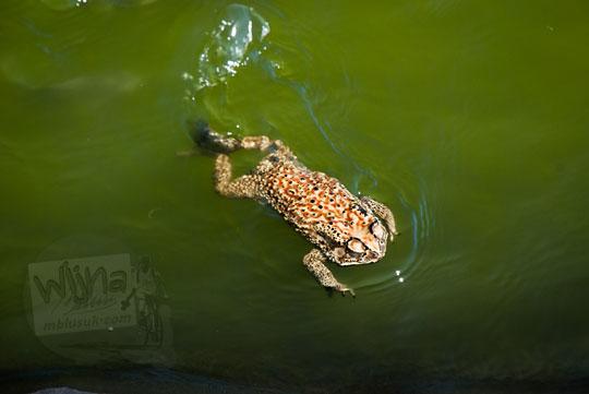 foto kodok berenang di antara ikan waduk mini banjaroya di kalibawang kulon progo