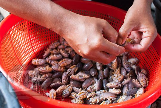 proses mencabuti cangkang yutuk atau undur-undur laut di kios pantai glagah kulon progo yogyakarta