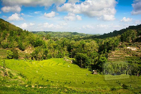 foto indahnya pemandangan sawah hijau seperti permadani di sudut desa puncungrejo imogiri bantul yogyakarta