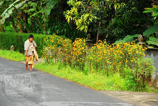 hamparan kebun bunga warga warna kuning di girimulyo jalan gua kiskendo