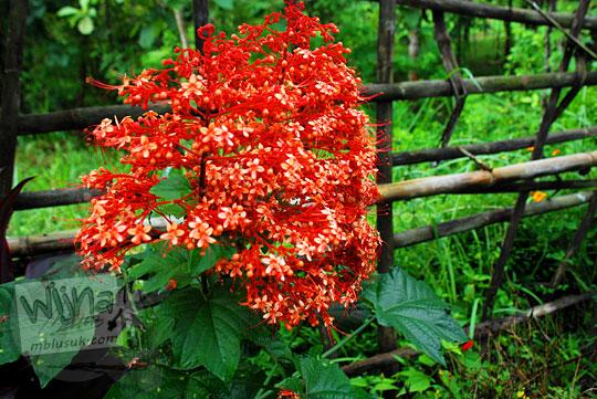 jenis bunga warna merah cantik yang dibudidayakan warga girimulyo kulon progo