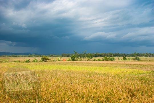 pemandangan awan mendung dengan hamparan sawah kuning di wilayah nanggulan, kulon progo