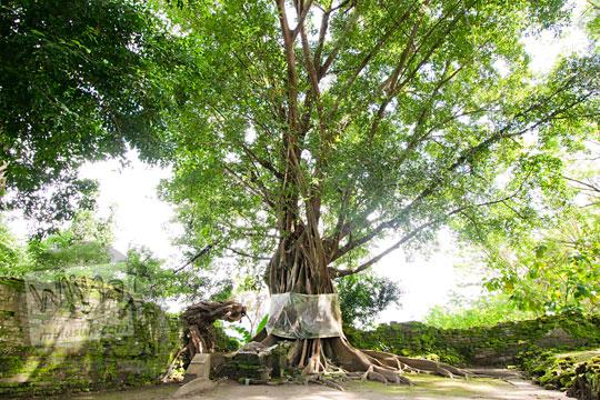 pohon bulu besar yang tumbuh di dekat makam ki panjang mas di gunung kelir pleret