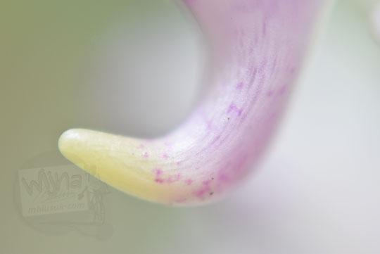 bentuk tanduk anggrek ekor tupai yang didapat dari makam angker gunung kelir di pleret bantul
