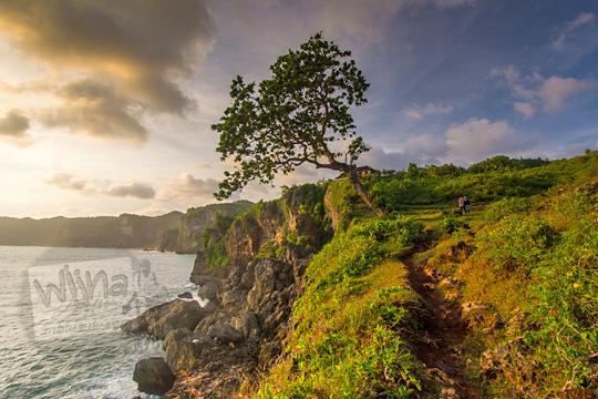foto pohon ketapang pinggir yang tumbuh di tebing pantai kesirat gunungkidul yogyakarta pada zaman dulu agustus 2018