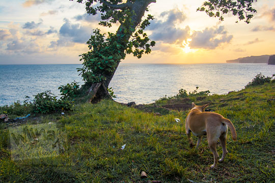 foto anjing coklat berkeliaran di seputar kawasan tebing pantai kesirat gunungkidul yogyakarta pada zaman dulu agustus 2018