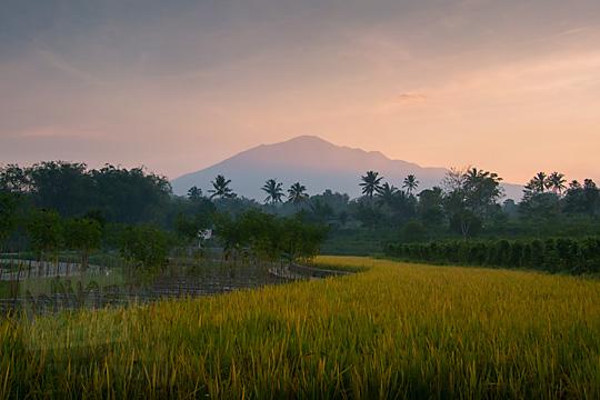 pemandangan gunung merbabu berlatar hamparan sawah yang padinya menguning di desa mangunsuko kecamatan dukun kabupaten magelang jawa tengah