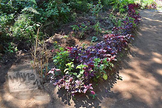 foto tanaman hias berwarna ungu yang ditanam pak kholidin di sepanjang jalan setapak kawasan telaga warna dieng ke arah bukit ratapan angin