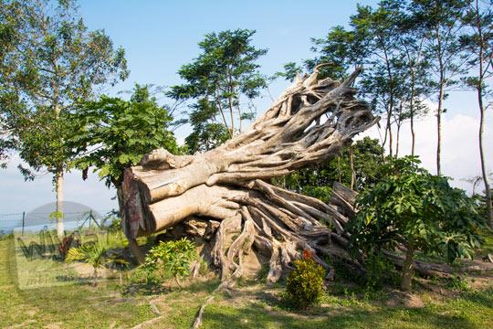 pohon besar tumbang di kompleks candi sari di cepogo boyolali pada zaman dulu Agustus 2017