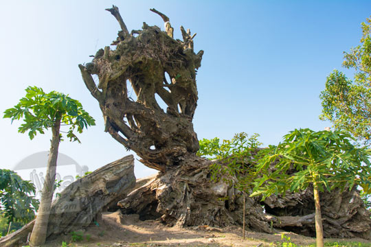 akar pohon raksasa yang rubuh di kompleks situs purbakala candi sari di cepogo boyolali pada zaman dulu Agustus 2017