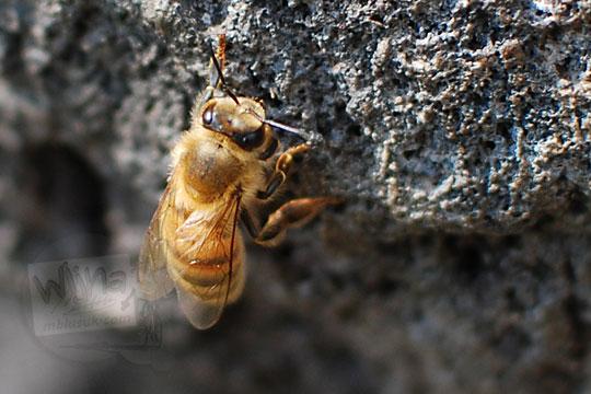 close up lebah batu