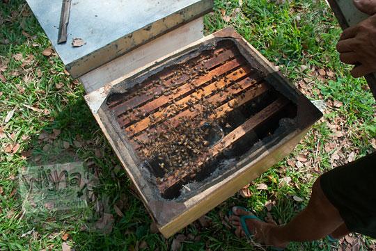 isi dalam kotak ternak lebah tegowangi