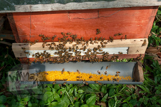sari madu kotak ternak lebah tegowangi