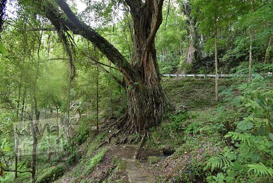 pohon beringin raksasa tanjakan bibis sekaro