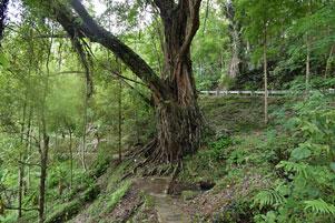 Tanjakan Beringin di Dusun Sekaro