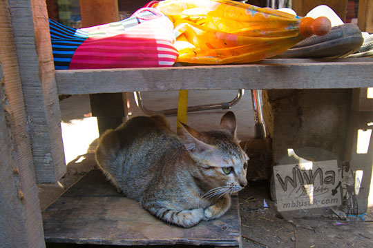 kucing duduk di desa adat sade lombok