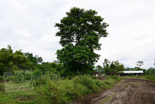 pohon randu alas tua keraton gaib bathok bolu di dusun sambiroto purwomartani kalasan tahun 2018