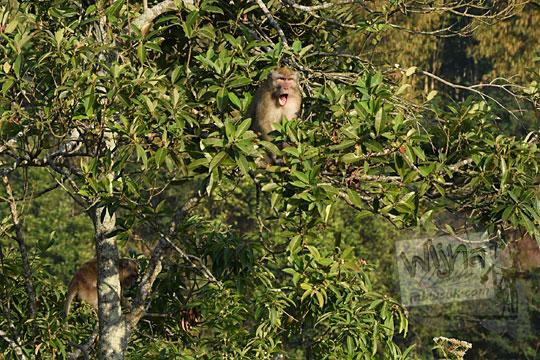 monyet liar gunung merapi sleman
