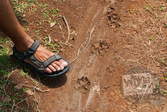 tapak kaki macan di hutan sambirejo pada zaman dulu April 2017
