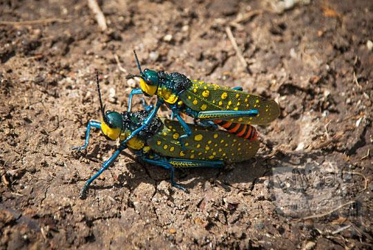 foto gaya pose belalang sedang kawin di hutan prambanan pada zaman dulu April 2017