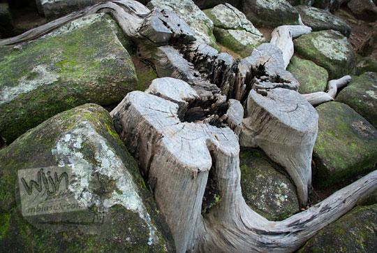 sisa akar pohon yang sudah mati di reruntuhan batu situs sumur bandung sambirejo prambanan yogyakarta dekat candi ijo pada zaman dulu April 2017