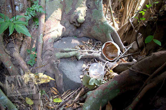 watu gilang yang terhimpit akar pohon beringin besar di dekat belik segaran tirtomartani kalasan sleman
