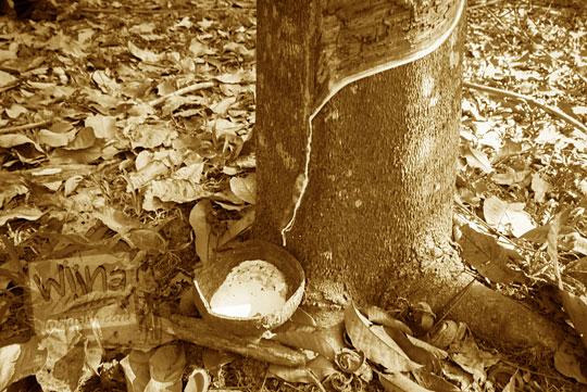 cara unik proses penyadapan getah pohon karet yang dilakukan oleh warga desa muara takus riau