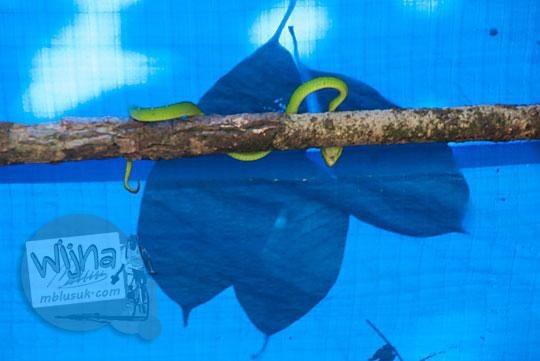 foto penampakan ular hijau berbisa di gubuk dekat objek wisata air terjun panisan di desa tanjung kecamatan koto kampar hulu riau pada zaman dulu April 2016
