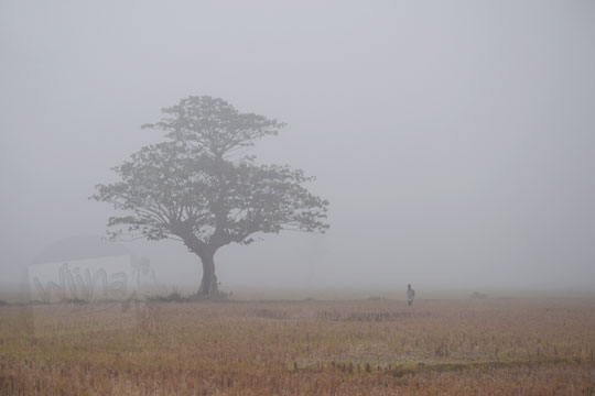 petani berdiri di dekat pohon besar di persawahan imogiri yang tertutup kabut tebal