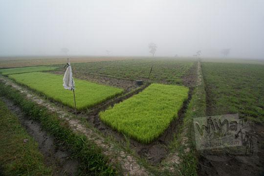 padi hijau disemai di persawahan berkabut tebal di imogiri