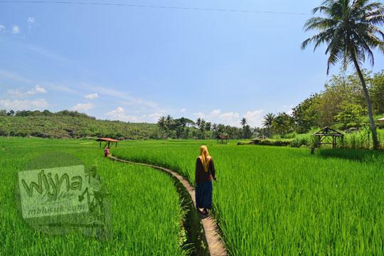wanita berjalan di pematang sawah desa ngembel karangtengah wonosari gunungkidul