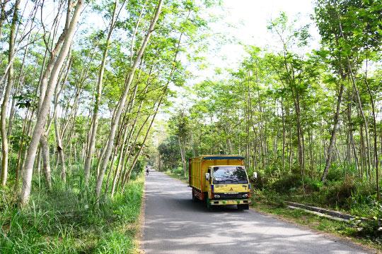 pemandangan suasana hutan pohon sengon di kemalang klaten
