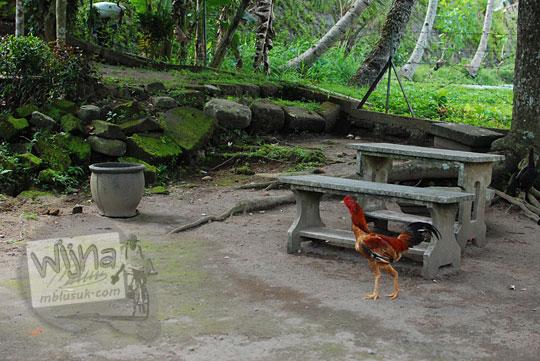 ayam jago liar di halaman petirtaan candi penataran