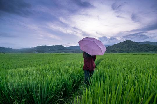 wanita memakai payung di tengah sawah