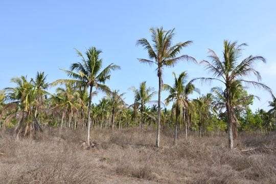pohon kelapa di sepanjang jalan menuju pantai bugel kulon progo