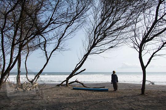cemara pantai di kawasan pantai bugel kulon progo