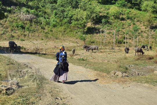 wanita jalan kaki di ladang kerbau